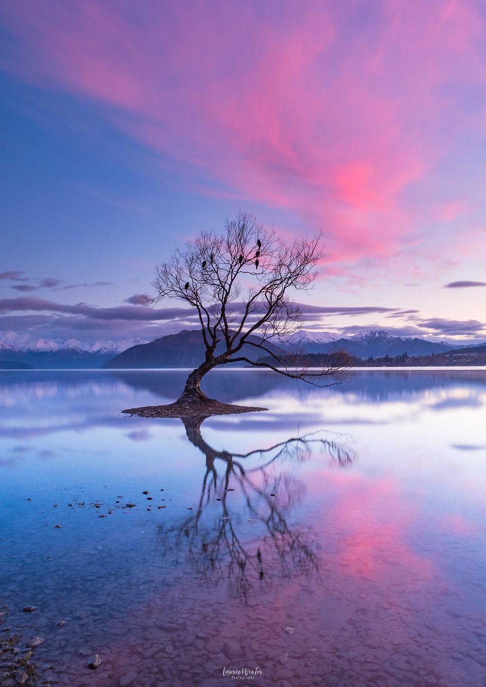 Wanaka tree reflections in the lake pink sunrise