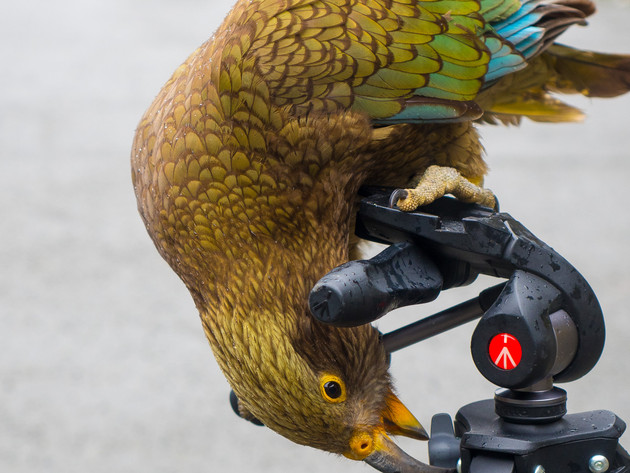 Naughty Kea on a Tripod