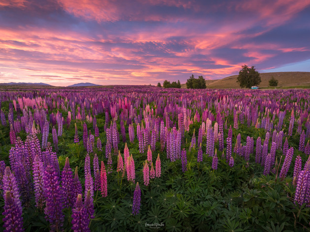 Sunrise Lupins Lake Tekapo