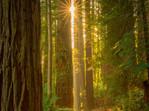 Golden Sunlight in the Redwoods Forest in Rotorua