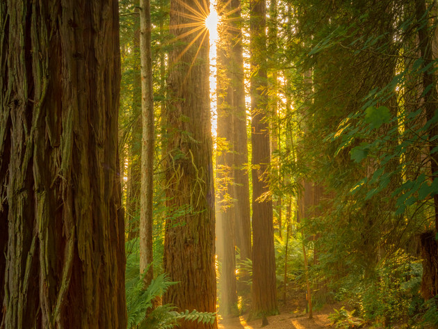 Golden Sunlight in the Redwoods Forest in Rotorua