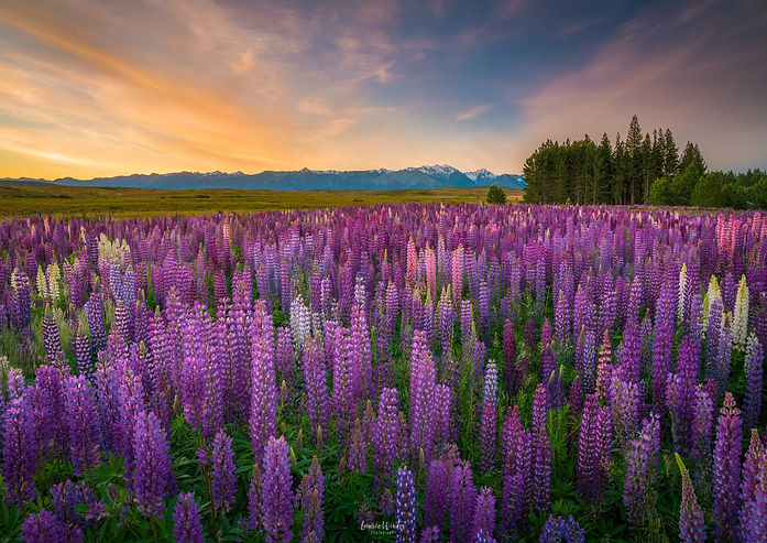 Field of colourful lupins at sunset, taken near Lake Tekapo in New Zealand. Photographyby Laurie Winter