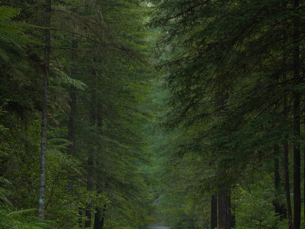 A Quiet Path in the Whakarewa Forest Rotorua Redwoods