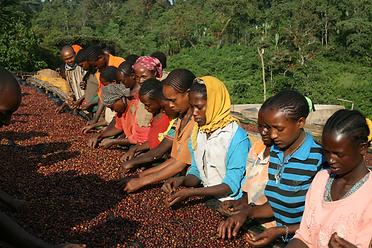 ethiopia イルガ3.png