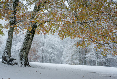 Hêtres aux couleurs d'automne dans la neige