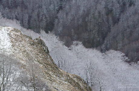 Isard sur  son promontoire, et forêt de hêtres gelés
