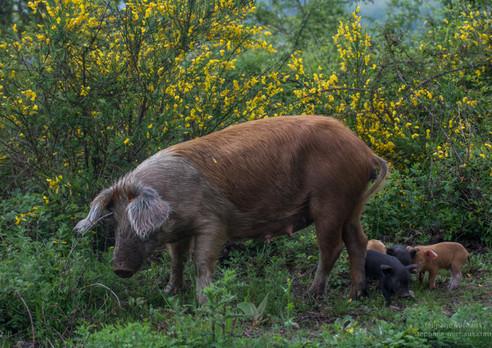 Porc de Corse