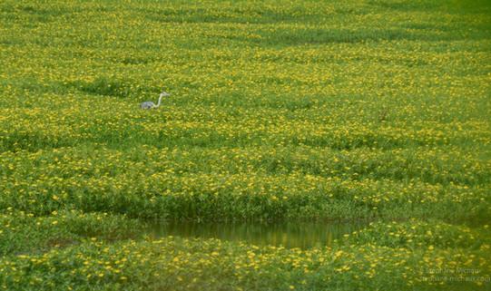 Héron cendré et jussies au marais d'Orx dans les Landes (1)