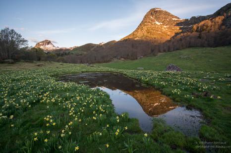 Pic Arougos au printemps, reflet dans la mare, et jonquilles au lever de soleil