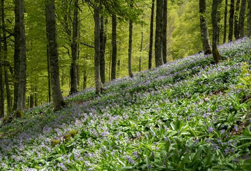 Jacinthe des Pyrénées en sous bois