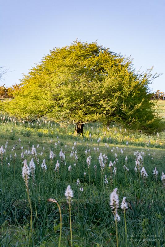 L'arbre et les asphodèles