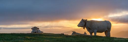 Panorama de vaches en montagne au Pays Basque