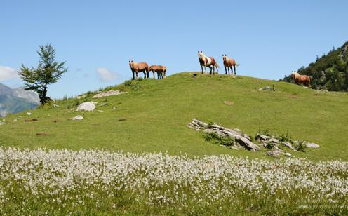 Chevaux en montagne et linaigrettes. Lescun, Béarn, Pyrénées Atlantiques.