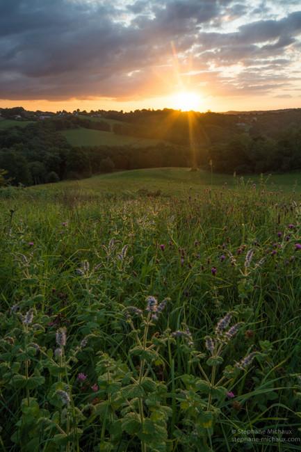 Fleurs de menthe, et la clairière au lever de soleil