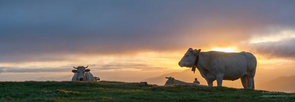 Vaches au lever de soleil