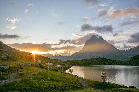 Les vaches au lever de soleil au bord du lac d'Ayous et le pic d'Ossau