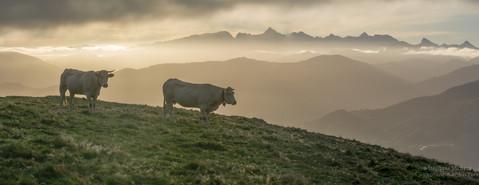 Panorama de vaches au lever de soleil à Iraty