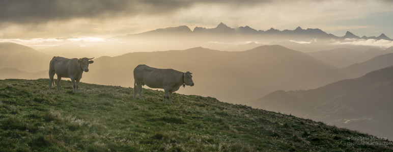 Vaches, lumières du lever de soleil, et vue sur les Pyrénées