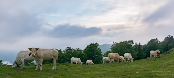 Vaches aux lumières du soir en montagne