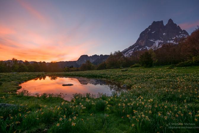Aurore, mare entourée de jonquilles et pic d'Ossau au printemps