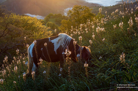Pottok, asphodèles au lever de soleil sur le Mondarrain