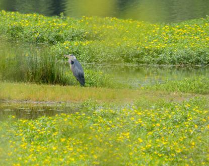 Héron cendré et jussies au marais d'Orx dans les Landes (2)