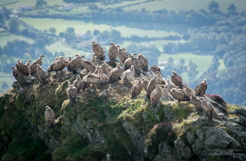 Vautours au Pays Basque