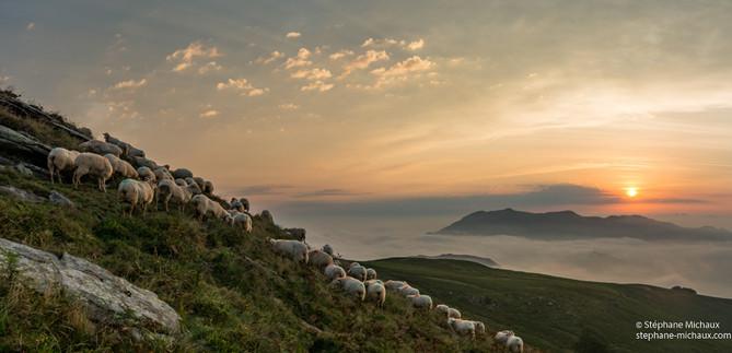 Panorama de brebis, mer de nuages au lever de soleil à l'Artzamendi