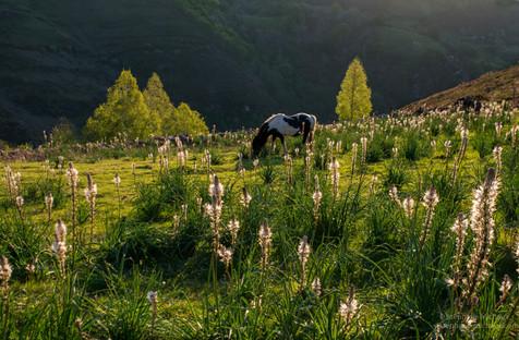 Pottok, asphodèles au lever de soleil sur les Penas d'Itsusi