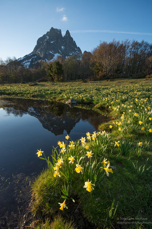 Lumière matinale, jonquilles et pic d'Ossau au printemps