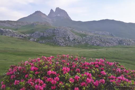 Rhododendrons et pic d'Ossau l'été