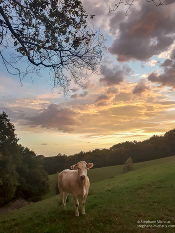 Vache au lever de soleil. Béarn.