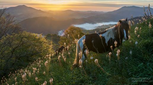 Pottoks et asphodèles au lever de soleil, Pays Basque.