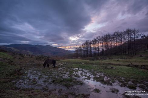 La tourbière, le cheval et les mélèzes à l'aube