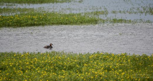 Grèbe huppée au marais d'Orx