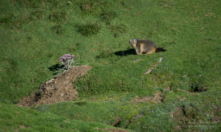 Mamotte et chardon à côté de son terrier