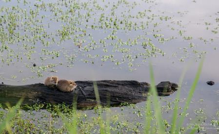 Jeunes ragondins au marais d'Orx