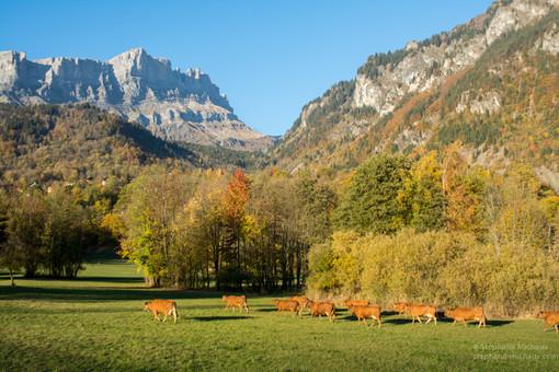 Troupeau de vaches tarines à Servoz, et la chaîne des Fiz l'automne