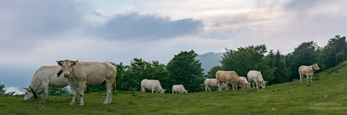 Panorama de vaches à Issarbe