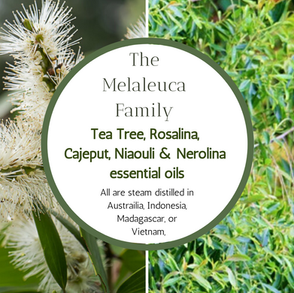 The Melaleuca Family -Tea Tree, Rosalina, Cajeput, Niaouli & Nerolina