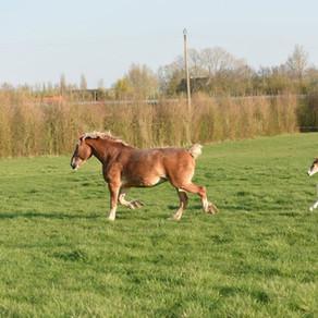 """Vlaams paard"" - Cheval flamand"