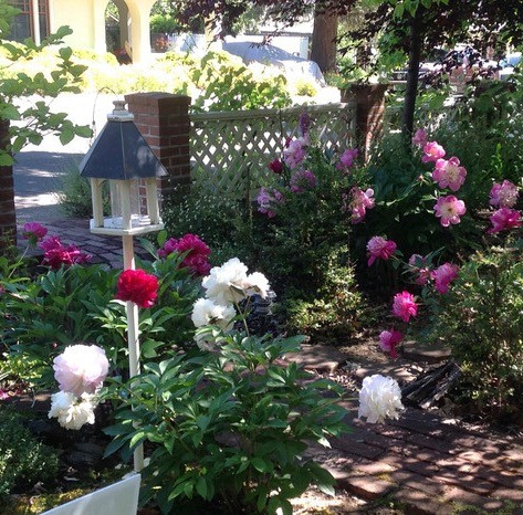 Spring peonies in the front yard