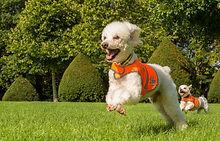 pawtrait-2small_dogs_orange_vest.jpg