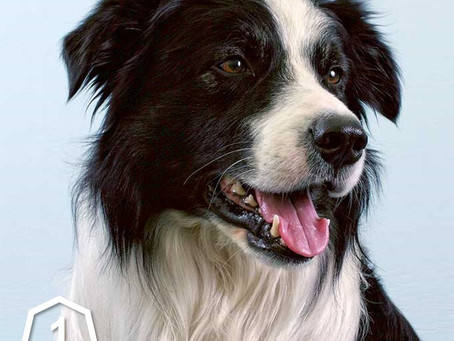 The history of the Border Collie
