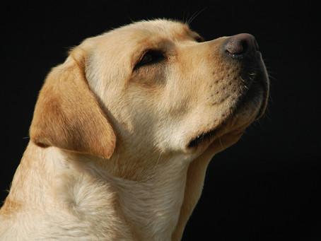 History of the Labrador retriever
