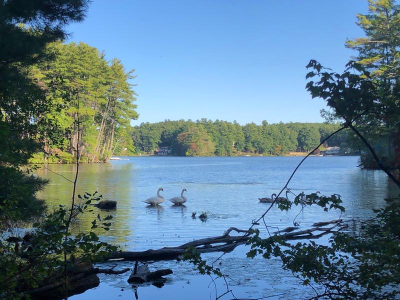 Lost Lake Trumpeter Swans