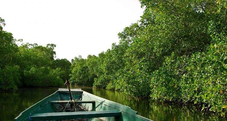 La mangrove casamançaise