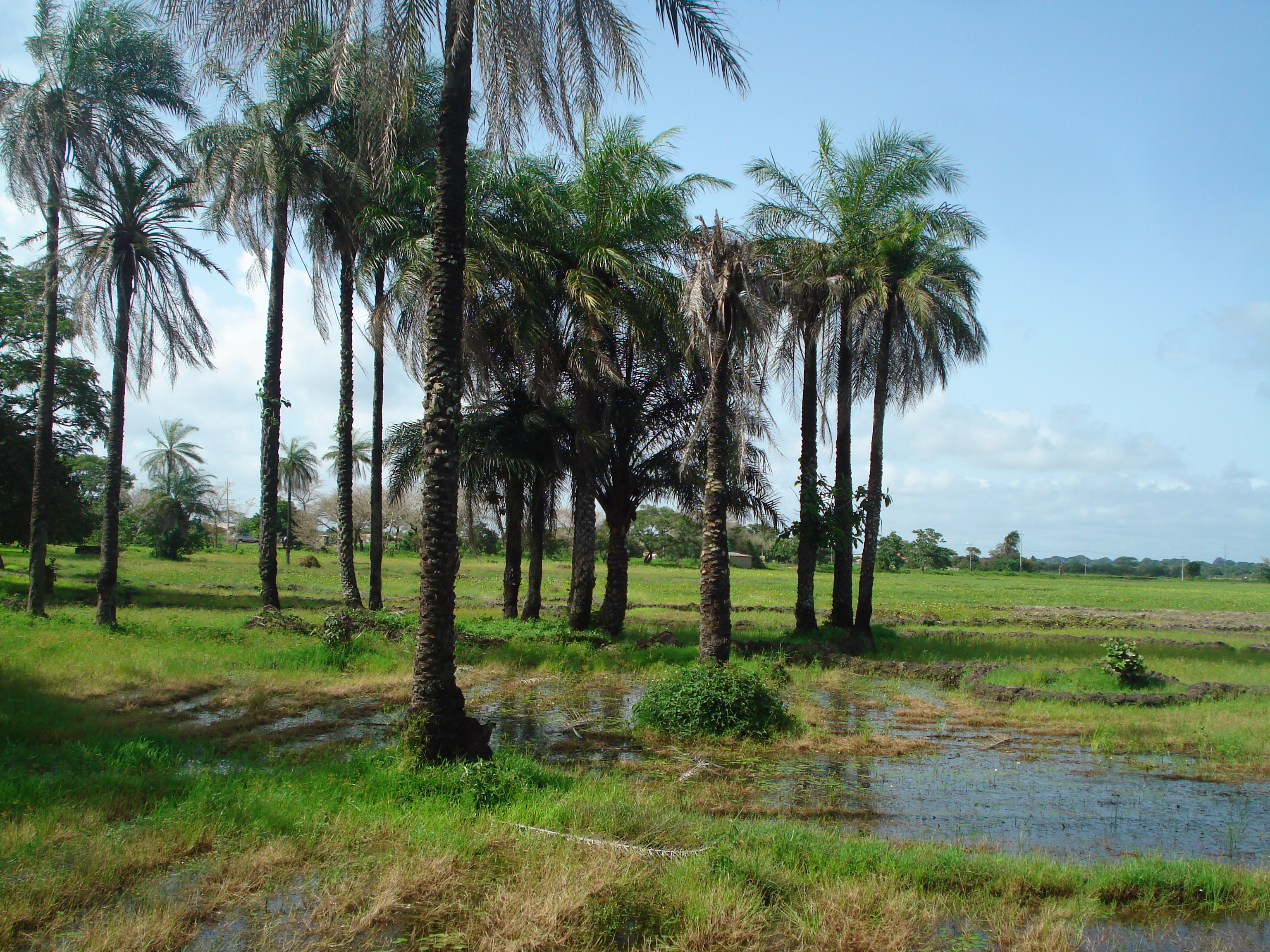 Les rizières d'Elinkine