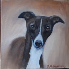 Italian Greyhound - Gambler.jpg