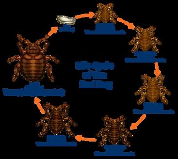 DPS-life-cycle-of-the-bedbug.png
